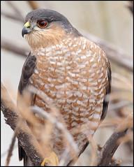 Sharp-shinned hawk (gainesp2003) Tags: portrait newmexico bird closeup hawk wildlife birding raptor nm bosquedelapache sharpshinned