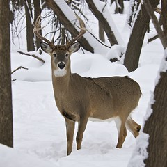 Male white-tailed deer in winter (Dean Gulstad) Tags: trees winter snow male nature minnesota animals geotagged photo stag december unitedstates natural outdoor wildlife stpaul deer buck animalia mammalia 2010 whitetaileddeer odocoileus odocoileusvirginianus cervidae chordata artiodactyla fortsnellingstatepark taxonomy:kingdom=animalia taxonomy:class=mammalia taxonomy:phylum=chordata taxonomy:order=artiodactyla ovirginianus taxonomy:genus=odocoileus taxonomy:common=whitetaileddeer taxonomy:binomial=odocoileusvirginianus taxonomy:family=cervidae taxotagged taxonomy:species=ovirginianus