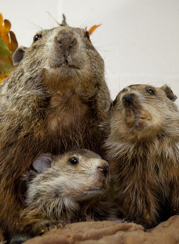 Woodchucks