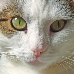 I will be a good girl in 2011 just like last year. A Happy New Year to everybody. (Cajaflez) Tags: pet cute cat kat chat katze gatto huisdier poes jasmijn 2011 cc100 bestofcats ahqmacro 100commentgroup saariysqualitypictures newgoldenseal