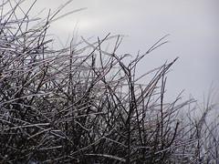 Lodowe gazie (magro_kr) Tags: winter snow ice bush poland polska zima gdansk danzig krzak nieg ld lod pomorze snieg pomorskie gdsk