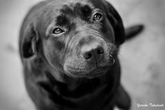Só um olhar (Yuricka Takahashi) Tags: brazil branco brasil labrador minas gerais pb preto mg e cachorro takahashi horizonte bh belo yuricka