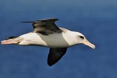 DSC_1227md (TLS Photo) Tags: life hawaii north shore kauai hawaiian hanalei albatross haena laysan