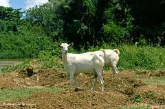 Afgoi, Somalia (aikassim) Tags: river farm goats somali agriculture mangotree somalia hornofafrica eastafrica   afgooye  afgoi shebeelahahoose shabelleriver wabigashabeelle arisoomaali