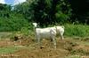 Afgoi, Somalia (aikassim) Tags: river farm goats somali agriculture mangotree somalia hornofafrica eastafrica مزرعة نهر afgooye الصومال afgoi shebeelahahoose shabelleriver wabigashabeelle arisoomaali