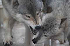 オオカミのじゃれあい