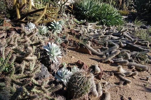 laying down cacti with Dudleya brittonii.