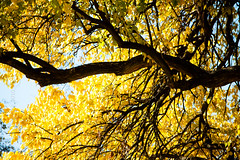 Venas negras / Black veins. (mexicois) Tags: louisville kentucky lightroom3 usa unitedstates us etatsunis estadosunidos animales animals animal zoo trees yellow autumn fall verano