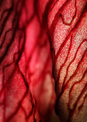 Red Curtain (AnyMotion) Tags: flowers red plants abstract macro rot nature floral colors colours frankfurt natur pflanzen structures blumen petal amaryllis vase veins makro wilting fa farben 2010 abstrakt hippeastrum bltenblatt strukturen belladonnalily makroaufnahmen adern anymotion ritterstern bej anawesomeshot verwelkend canoneos5dmarkii 5d2