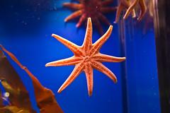 Seestern (blichb) Tags: winter germany deutschland aquarium starfish balticsea rgen ostsee stralsund seastar mecklenburgvorpommern seestern ozeaneum blichb