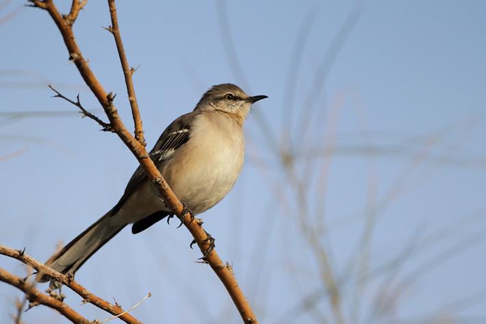 010511_SaltonSea_mockingbird