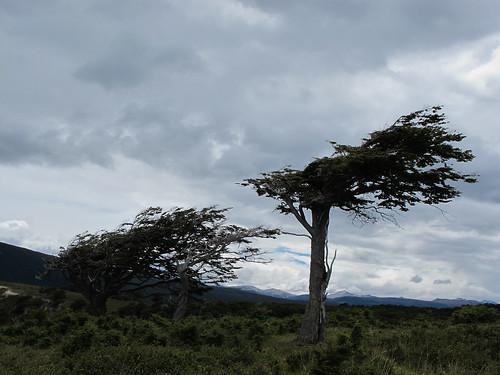 Windswept Trees - Tierra del Fuego, Argentina
