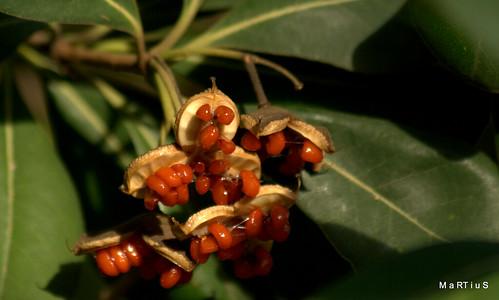Pitosporo=semilla pegajosa