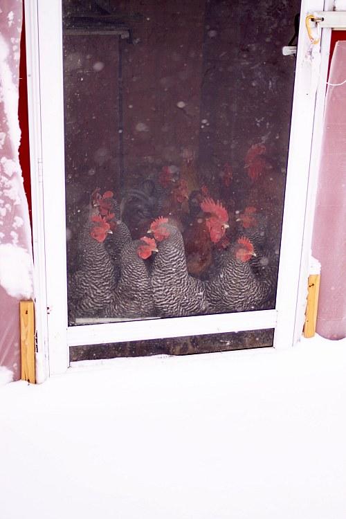 01-13-chickens1