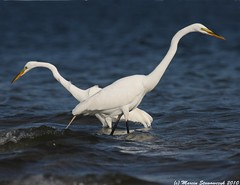 Two egrets (v4vodka) Tags: morning white bird animal sunrise wildlife birding flight egret birdwatching greategret shorebird ardeaalba egretta flyingegret czaplabiala czala