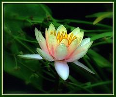 version 2 - watercolor (edenseekr) Tags: waterlily conservatory digitalartwork exceptionalflowers