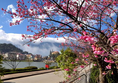 Cherries blossom in Sapa, Vietnam