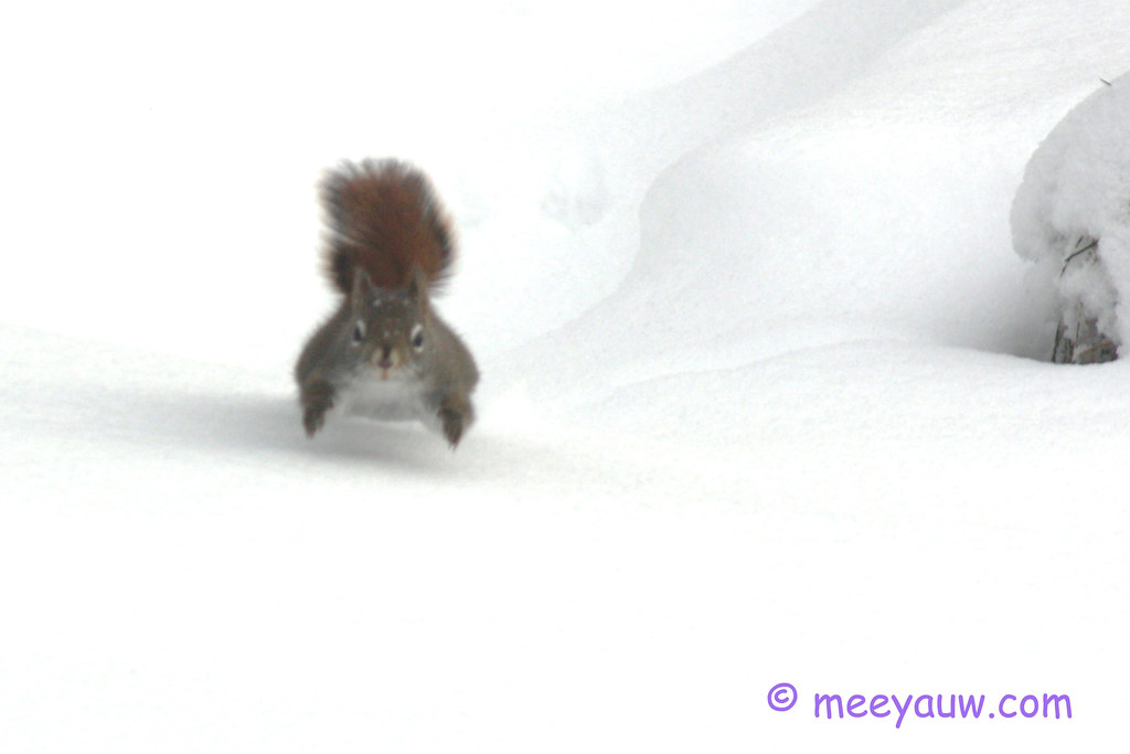 red squirrel   09.jpg