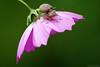 Buggy Ride (Vie Lipowski) Tags: flower nature bug insect snail stinkbug cosmos shieldbug babysnail pentatomoidea detritivore chustbug