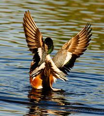 Northern Shoveler wings (Gitart) Tags: blue red brown white black green bird nature water duck wings flapping northernshoveler shoveler