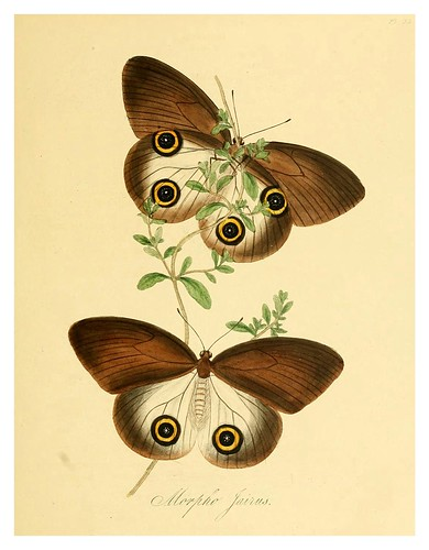 006-Morpho Jairus-Natural history of the insects of China…1842- Edward Donovan