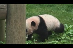 Po the explorer (smileybears) Tags: panda po zooatlanta lunlun