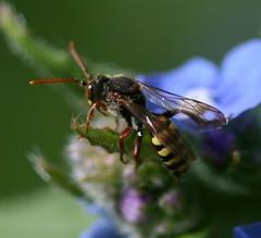 Nomada sp. (possibly marshamella) on Alkanet (S. Rae) Tags: bee hymenoptera kingdomanimalia phylumarthropoda insectphotography classinsecta orderhymenoptera anthophila nomadini beeimages
