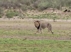 Huge Kalahari Mane Lion (jaffles) Tags: nature southafrica wildlife natur olympus np ktp südafrika kgalagadi