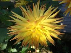 Looking down on a dahlia in dappled light (markshephard800) Tags: flora flores bloemen blumen fiori fleurs flowers flower shade light yellow dahlia