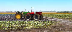 Harvesting Time in Wisconsin (Ricky L. Jones Photography) Tags: samsung landscape landscapephotography wisconsin midwest farm farms farming farmequipment morning cabbage