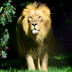 Lion (gary.tootle17) Tags: 25faves radiant 18200mmvr2 d3300 wondering nikon lion