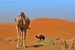 Quickly i will eat - Explore (TARIQ-M) Tags: texture landscape sand desert dunes camel riyadh saudiarabia hdr الصحراء الرياض صحراء خيمة رمال جمل ابل رمل canonef70200mmf4lusm خيام طعوس طعس نياق المملكةالعربيةالسعودية canon400d الرمل ناقة خطوط نفود الرمال كثبان تموجات تموج نفد