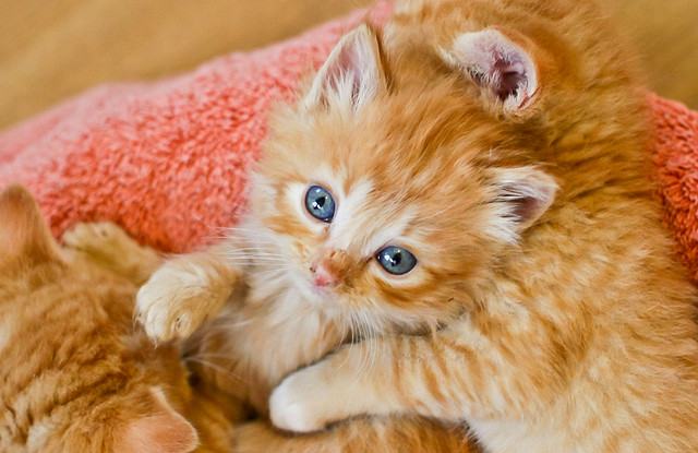 cute foster ginger kittens