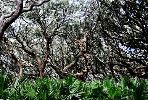 Amazing Trees at Sea Camp Beach, Cumberland Island National Seashore