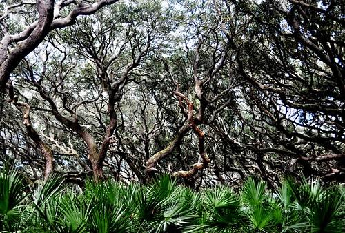 Amazing Trees at Sea Camp Beach, Cumberland Island National Seashore