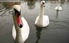 Trio of Swans (barryskeates) Tags: up closeup swan close angle sony wide wideangle tokina alpha berkshire newbury a450 1116mm tokina1116mm sonyalphaa450