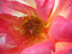 Rosaceae (Saxegothaea) Tags: rose rosa rosado rosaceae gineceo hermafrodita androceo