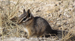 Cliff Chipmunk (Neotamias dorsalis) (hummakuvula) Tags: arizona animal squirrel desert tucson chipmunk naturesfinest blackettsridge specanimal