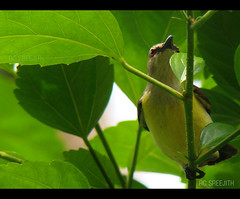 honey bird (RC Sreejith | ) Tags: greenleaves kerala backyardbird honeybird sreejithrc rcsreejith yellowhoneybird