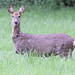 Roe Doe Deer Bob Podesta 002