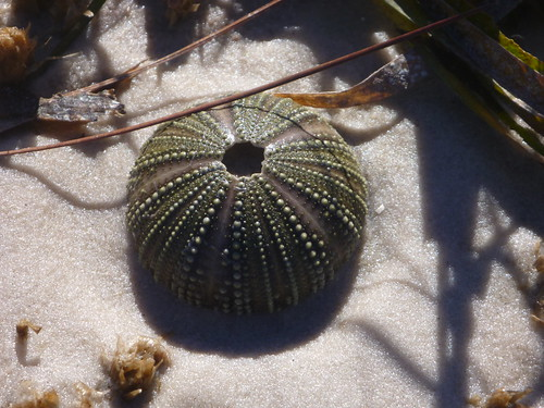 Sea Urchin shell washed up on marsh