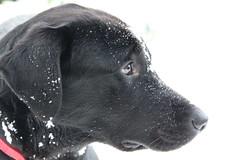 Mac in the snow (Hilary Gaunt) Tags: labrador aberdeen gundogs scottishwinter snowscotland labradorsinthesnow