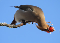 Acrobatic waxwing! (Glesgastef) Tags: uk winter england snow bird canon garden lens eos scotland berry frost glasgow wildlife flight sigma down bbc unusual migration common rare waxwing upside yorkhill acrobatic birdwatcher scandanavia 400mm springwatch migrate autumnwatch birdinginthewild 1000d