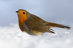 European Robin (Erithacus rubecula) (m. geven) Tags: winter orange snow cold bird nature animal fauna erithacusrubecula sneeuw feathers natuur veer dier oiseau europeanrobin avian vogel oiseaux oranje rougegorge songbird avifauna koud gelderland migrant rotkehlchen roodborst veren jaarvogel pluim zangvogel migratingbird forestbird gardenbird tuinvogel trekvogel verycommon gemeentemontferland bosvogel zeertalrijk nederlandthenetherlandsniederlande
