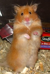 IMG_5627 (Morgainne) Tags: bear pet cute love animal zoey long teddy fuzzy small hamster haired syrian
