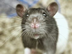 Cutest Rat Ever ! (Latifa Al-Bokhari) Tags: pet smart rat ever cutest petsmart