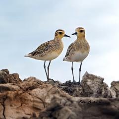 หัวโตหลังจุดสึทอง Pacific Golden Plover