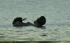 Musk Duck - Lappenente, Männchen bei der Balz, NGID2119761091 (naturgucker.de) Tags: australien biziuralobata lappenente lakewallace naturguckerde cchristopherengelhardt ngid2119761091