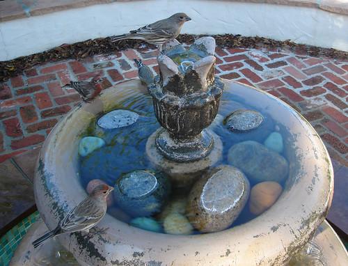 fountain finches