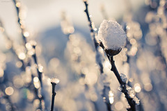 Fresh snow - Frosty mornings III (Marc Benslahdine) Tags: macro jardin bleu neige glace givre lightroom glacial fraicheur canonef100mmf28macrousm canoneos50d marcopix marcbenslahdine matinsgivrs marcopixcom